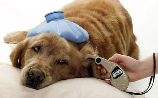 Diabetes in dogs